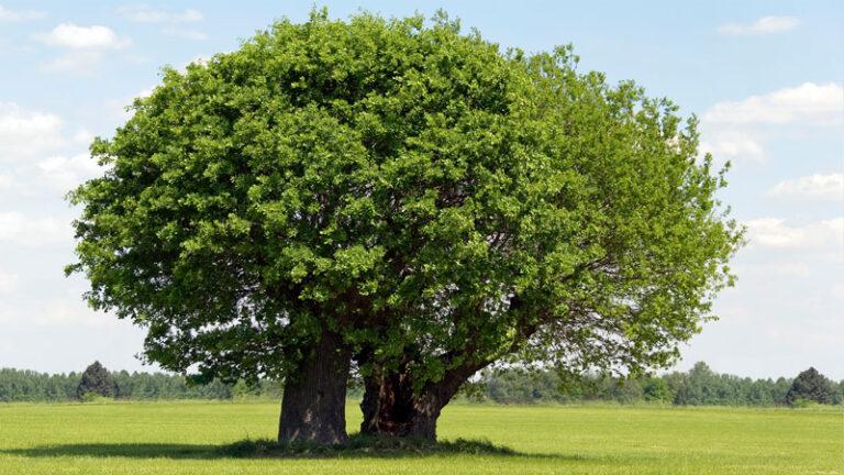 Healthy tree in summer